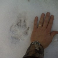 Mountain Lion Track While Hunting